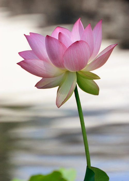 Lotus Greeting Card featuring the photograph Pink Lotus Vertical by Dina Calvarese