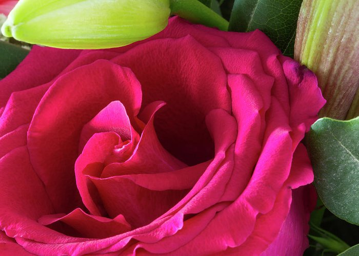 Flower Greeting Card featuring the photograph Pink Rose And Bud Close-up by Iordanis Pallikaras