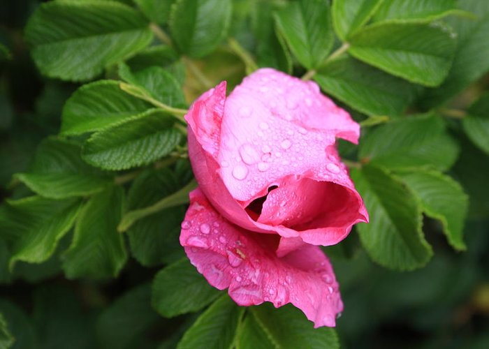 Fine Art Greeting Card featuring the photograph Pink Rose Bud by Doug Mills