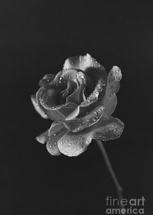 Pink rose in black and white on dark background greeting card for pink rose greeting card featuring the photograph pink rose in black and white on dark background m4hsunfo