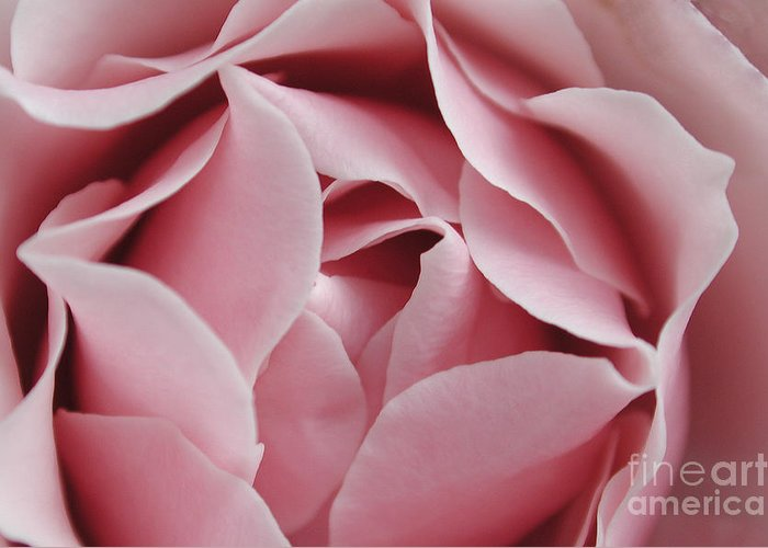 Flower Greeting Card featuring the photograph Pink Rose by Kathi Shotwell
