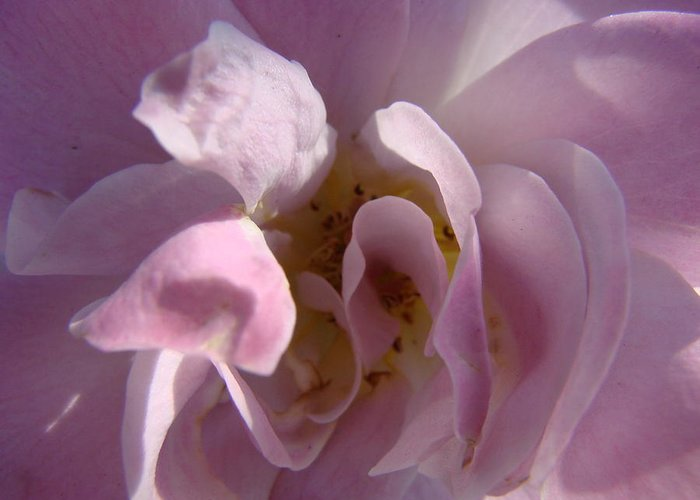 Flowers Greeting Card featuring the photograph Pink Rose by Liz Vernand
