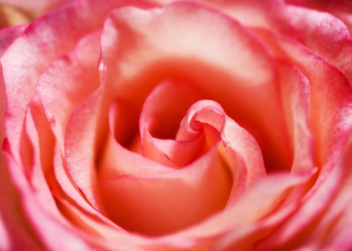 Pink Greeting Card featuring the photograph Pink Rose by Mary Lane