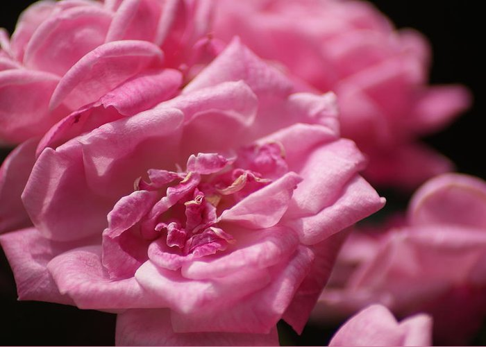 Roses Greeting Card featuring the photograph Pink Roses by Heather Green