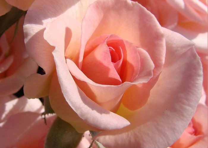 Pink Greeting Card featuring the photograph Pink Roses by Liz Vernand