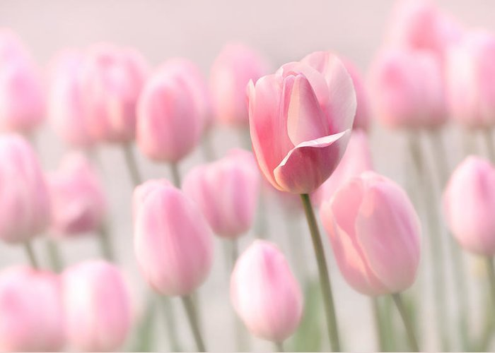 Tulip Greeting Card featuring the photograph Pink Tulip Cloud by Mary Jo Allen