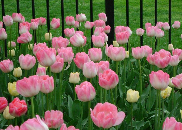 Pink Tulips Greeting Card featuring the photograph Pink Tulips by Cynthia Butler