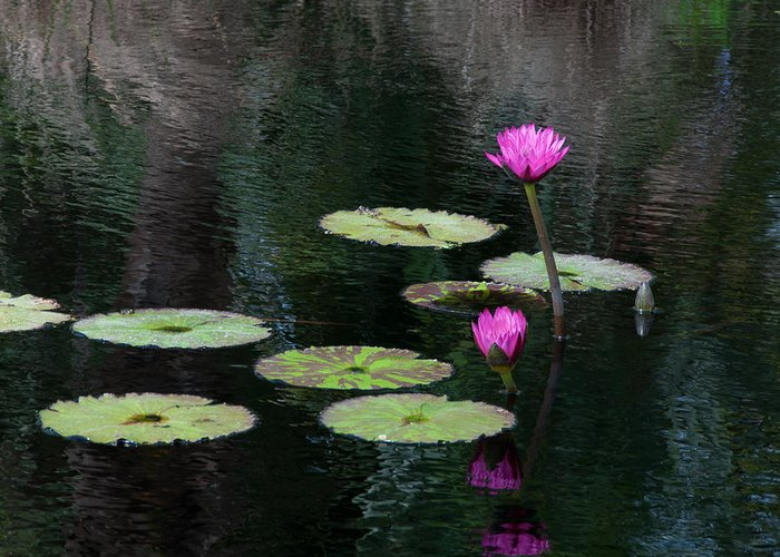 Pink Magenta Flower Water Lily Greeting Card featuring the photograph Pink Waterlillies by Carolyn Dalessandro