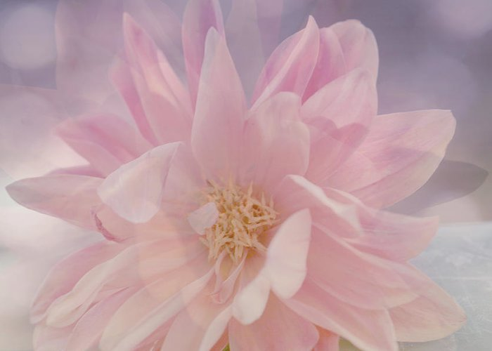 Soft Light Greeting Card featuring the photograph Pink Whisper by Bonnie Bruno