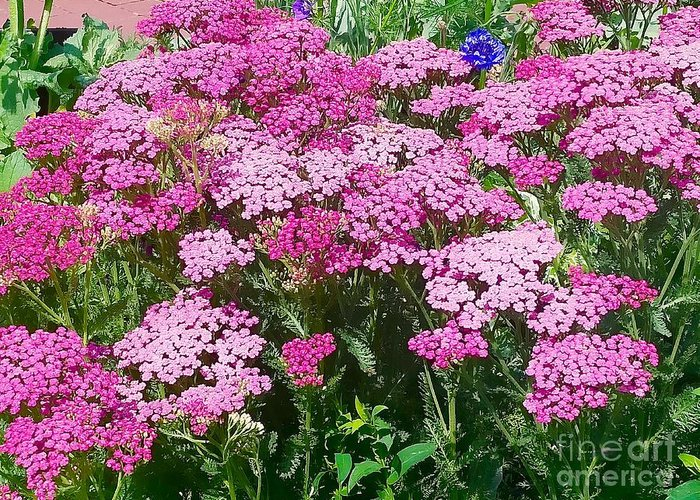 Yarrow Greeting Card featuring the photograph Pink Yarrows by Mioara Andritoiu