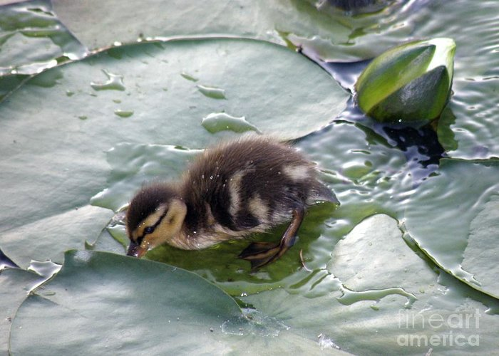 Duck Greeting Card featuring the photograph Playing In The Water by Trisha Allard