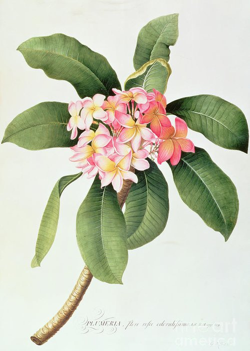 Botanical; Tubular Flowers; Frangipani Tree; Frangipanier Greeting Card featuring the painting Plumeria by Georg Dionysius Ehret