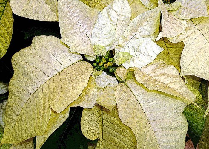 Poinsettias Greeting Card featuring the photograph Poinsettias In White by Mindy Newman