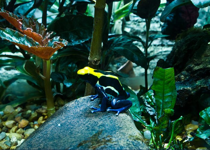 Poison Greeting Card featuring the photograph Poison Dart Frog Poised For Leap by Douglas Barnett