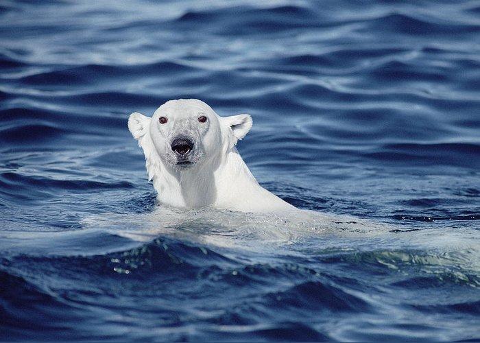 Mp Greeting Card featuring the photograph Polar Bear Swimming Baffin Island Canada by Flip Nicklin
