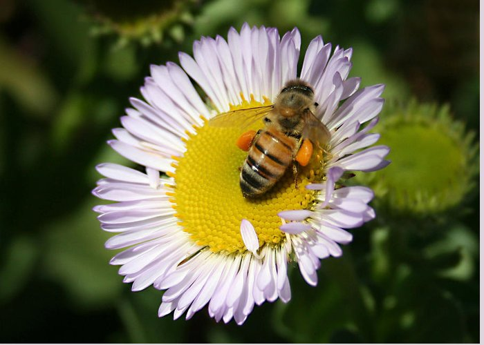 Pollen Harvest Greeting Card featuring the photograph Pollen Harvest by Ellen Henneke