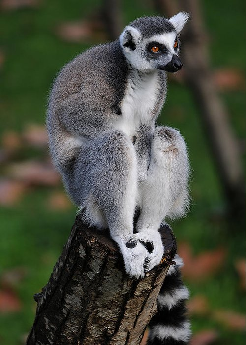 Lemur Greeting Card featuring the photograph Pondering by Alessandro Matarazzo
