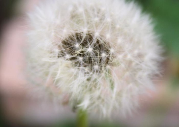 Dandelion Greeting Card featuring the photograph Poof by Lynnette Johns