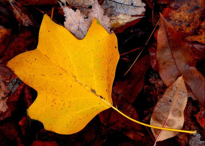 Nature Greeting Card featuring the photograph Poplar Leaf by Don Whipple