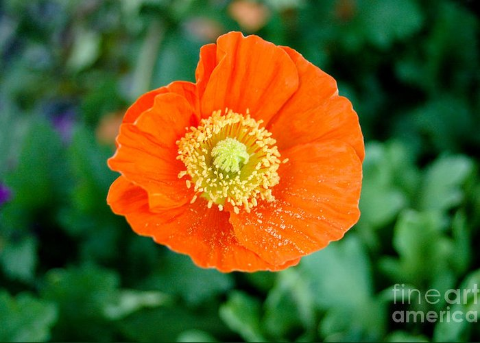 Orange Poppie Greeting Card featuring the photograph Poppie by Maureen Norcross