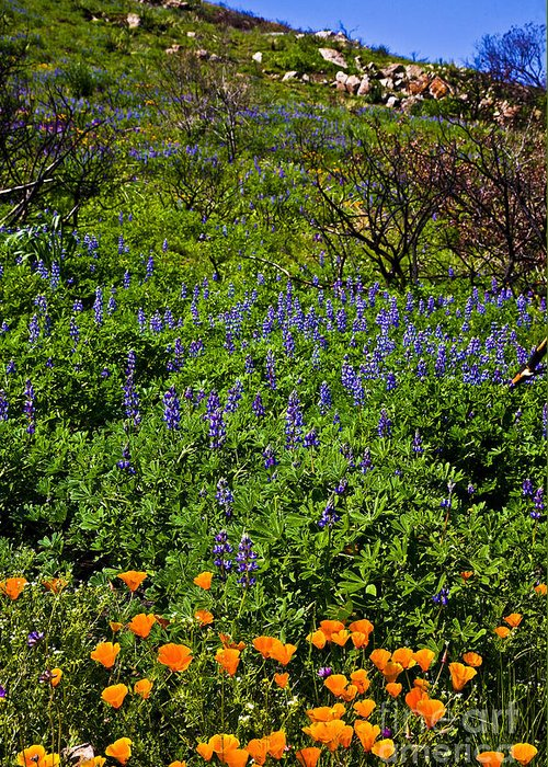 California Greeting Card featuring the photograph Poppies Before Lupines by Greg Clure