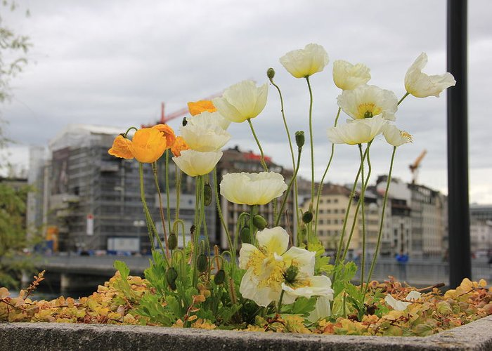 Geneva Greeting Card featuring the photograph Poppies by Nurlan Alymbaev