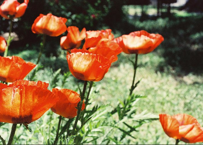 Flowers Greeting Card featuring the photograph Poppies by Ric Bascobert