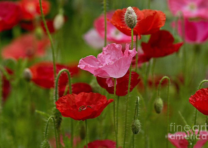 Flowers Greeting Card featuring the photograph Poppies by Susan Garver