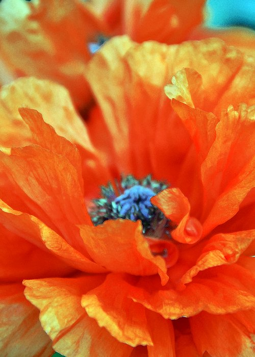 Papaver Somniferum. Opium Greeting Card featuring the photograph Poppy by Angelina Vick