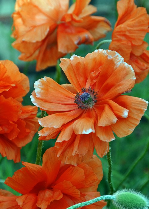 Papaver Somniferum. Opium Greeting Card featuring the photograph Poppy Fields by Angelina Vick