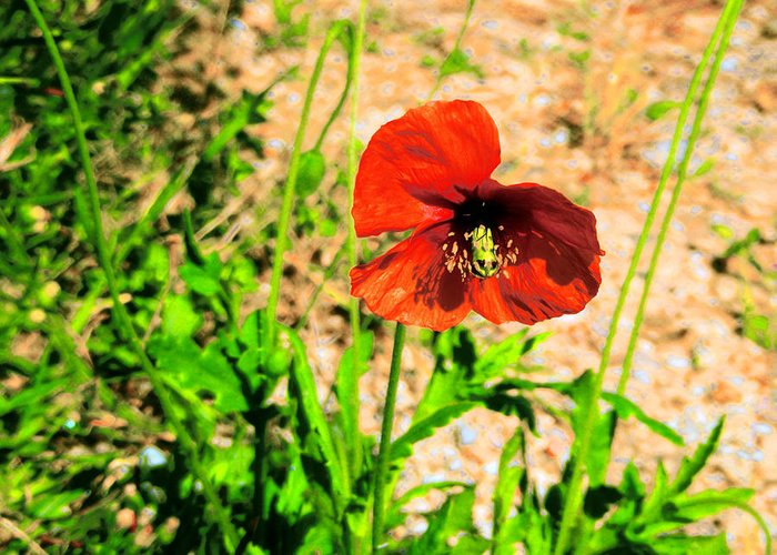 Poppy Greeting Card featuring the photograph Poppy by Ingrid Dance