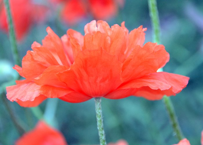 Papaver Somniferum. Opium Greeting Card featuring the photograph Poppy Profile by Angelina Vick