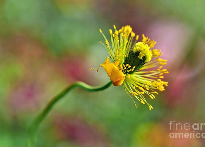 Photography Greeting Card featuring the photograph Poppy Seed Capsule by Kaye Menner