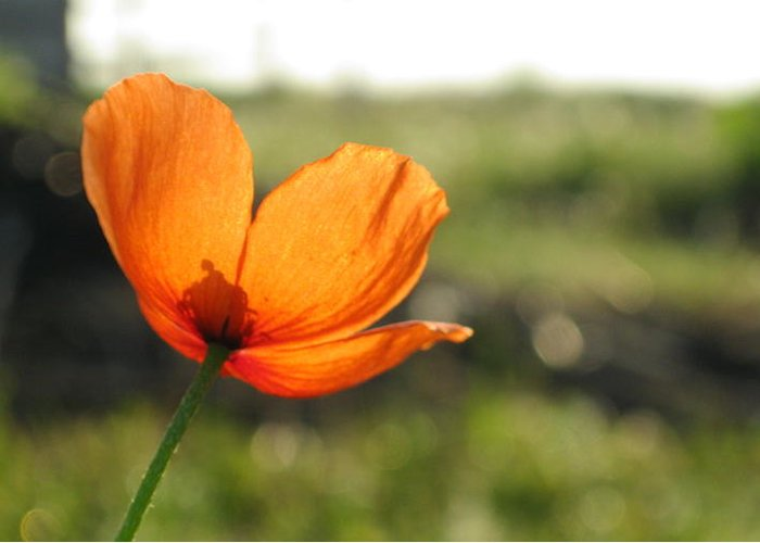 Flower Greeting Card featuring the photograph Poppy Sunrise by Katie Whittaker