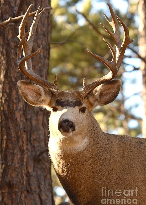 Buck Greeting Card featuring the photograph Portrait Of A 15-point Buck by Max Allen