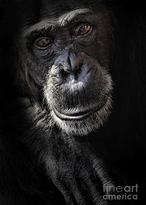 Chimp Greeting Card featuring the photograph Portrait Of A Chimpanzee by Avalon Fine Art Photography