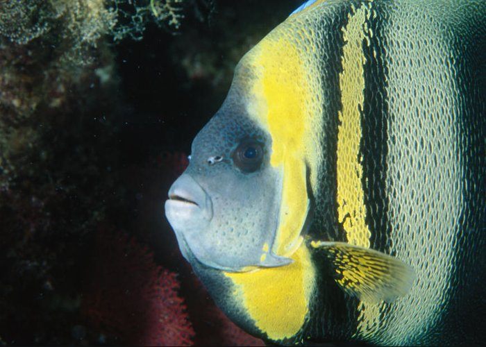 Sea Of Cortez Greeting Card featuring the photograph Portrait Of A Cortez Angelfish by James Forte