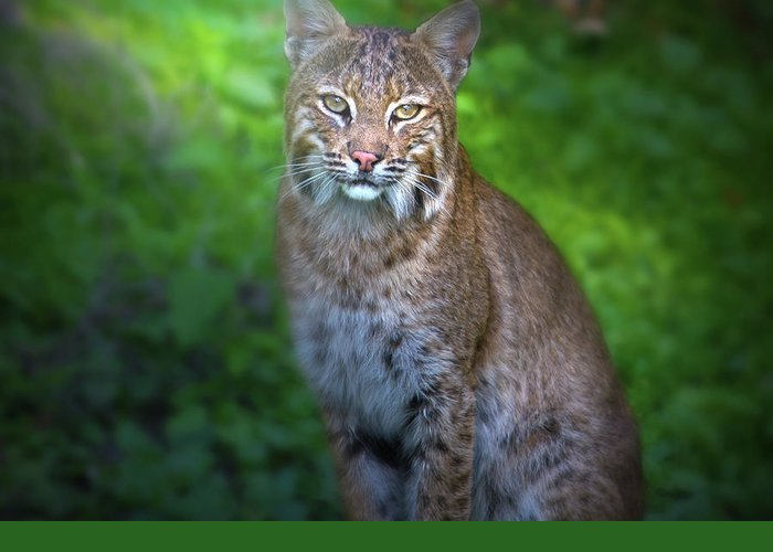 North American Bobcats Greeting Cards