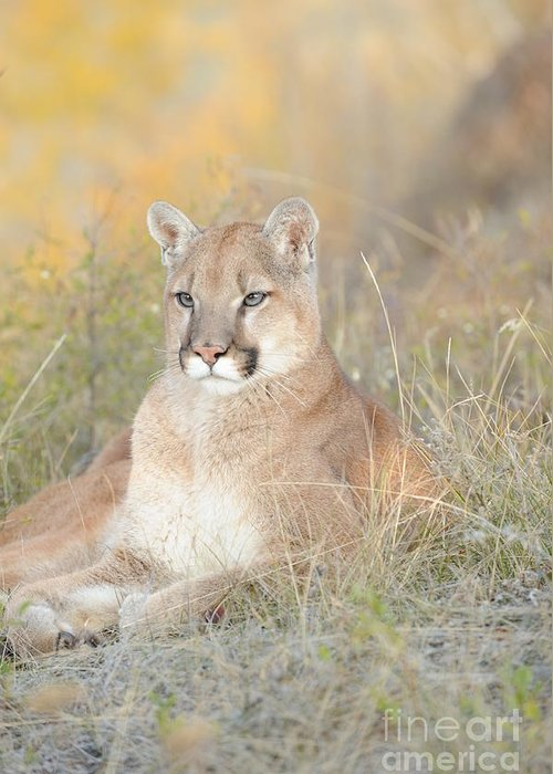 Mountain Lion Greeting Card featuring the photograph Portrait Of A Mountain Lion by Dennis Hammer