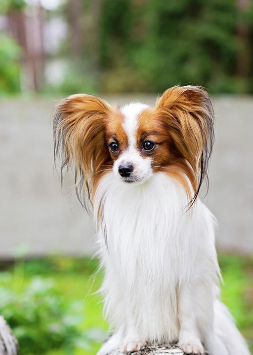 Portrait Of A Papillon Dog Greeting Card For Sale By Anna Maloverjan