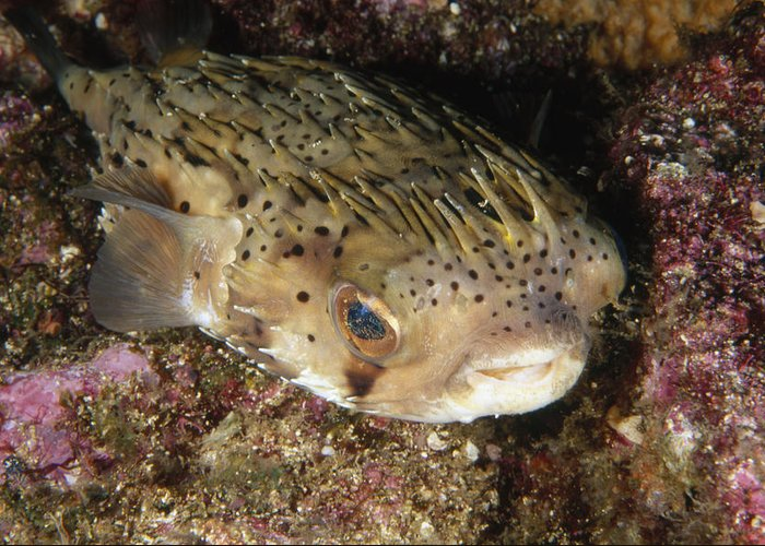 Sea Of Cortez Greeting Card featuring the photograph Porupinefish Close-up Portrait Sleeping by James Forte