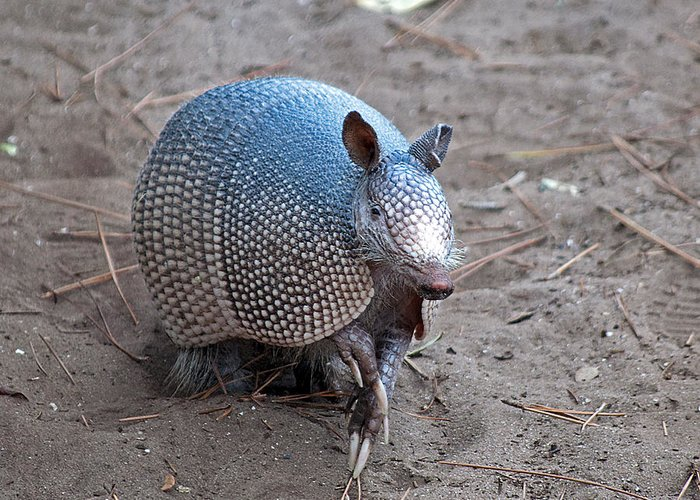 Armadillo Greeting Card featuring the photograph Posing Armadillo by Kenneth Albin