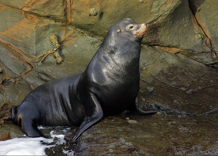 Sea Lion Greeting Card featuring the photograph Posing Sea Lion by Randall Ingalls
