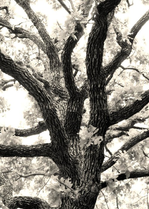 Post Greeting Card featuring the photograph Post Oak by Jeannie Burleson
