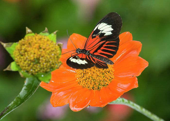 Postman Butterfly Greeting Card featuring the photograph Postman Butterfly by Genevieve Vallee