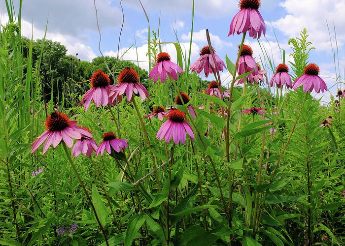 Flower Greeting Card featuring the photograph Prairie Coneflowers by Scott Kingery
