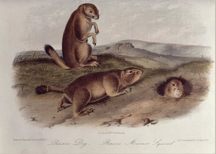 Prairie Dog From 'quadrupeds Of North America' Greeting Card featuring the drawing Prairie Dog by John James Audubon