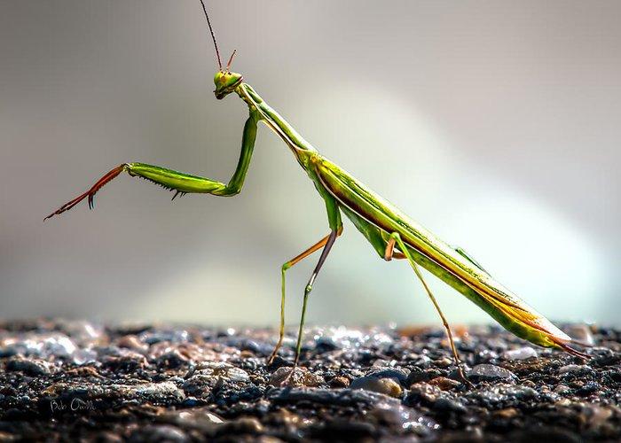 Mantis Greeting Card featuring the photograph Praying Mantis by Bob Orsillo