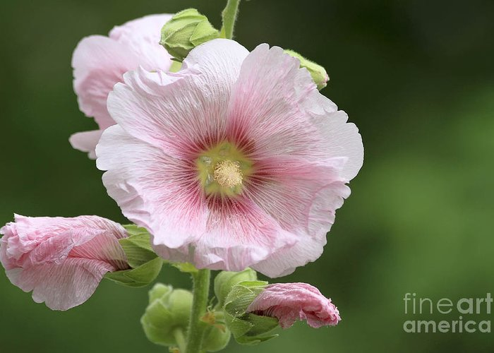 Flower Greeting Card featuring the photograph Pretty In Pink by Teresa Zieba