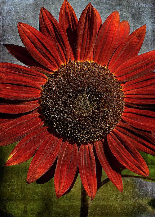 Cindi Ressler Greeting Card featuring the photograph Primitive Sunflower 2 by Cindi Ressler